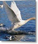 Swan Take Off Metal Print