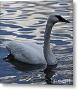 Swan Watching Metal Print