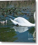Swan With Cygnets Metal Print