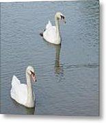 Swans Drifting Along Metal Print