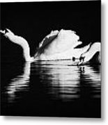 Swans Feeding And Drinking Metal Print