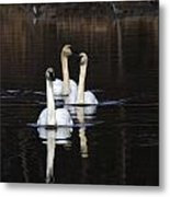 Swans In A Row Metal Print