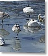 Swans On The Ice Along The Tagish Metal Print