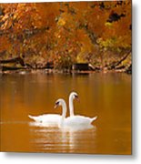 Swans Soft And Smooth Metal Print