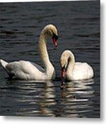 Swans Swimming Metal Print