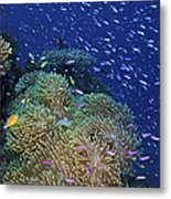 Swarms Of Small Baitfish Swim Metal Print