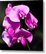 Sweat Pea Metal Print by Dawn OConnor