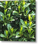 Sweet Bay (laurus Nobilis) Metal Print
