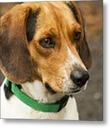 Sweet Little Beagle Dog Metal Print