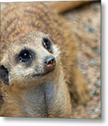 Sweet Meerkat Face Metal Print