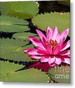 Sweet Pink Water Lily In The River Metal Print