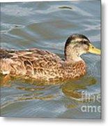 Swimming Duck Metal Print