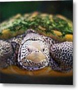 Swimming Turtle Facing Camera Metal Print