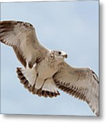 Swooping In For A Meal Metal Print
