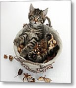 Tabby Kitten In Potpourri Basket Metal Print
