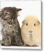Tabby Kitten With Yellow Guinea Pig Metal Print