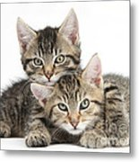 Tabby Kittens Cuddling Metal Print
