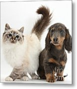 Tabby-point Birman And Dachshund Pup Metal Print