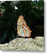 Tailed Jay Butterfly1 Metal Print