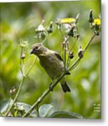 Take A Look - Lesser Goldfinch Metal Print