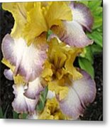 Tall Bearded Iris Named Butterfingers Metal Print