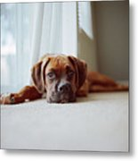 Tan Boxer Puppy Laying On Carpet Near Window Metal Print