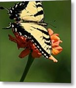 Tantalizing Tiger Swallowtail Butterfly Metal Print