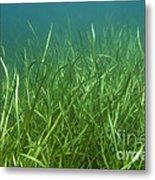 Tapegrass In Freshwater Lake Metal Print