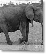 Tarangire Elephant On Road Metal Print
