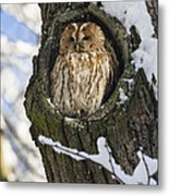 Tawny Owl Strix Aluco In Nest Hole Metal Print