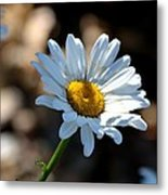 Tea Stained Daisy Metal Print