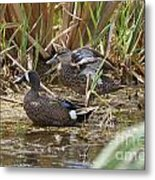 Teal Pair In The Cattails Metal Print