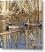 Teal Swiming Along Cattails Metal Print
