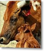 Tender Cow Moment Metal Print