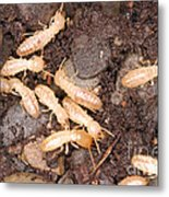 Termite Nest Reticulitermes Flavipes Metal Print
