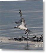 Tern Emerging With Fish Metal Print