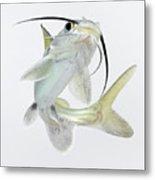 Tete Sea Catfish (hexanematichthys Seemanni), Low Angle View Metal Print