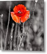 Texas Hot Poppy With Black And White Metal Print