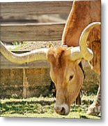Texas Longhorns - A Genetic Gold Mine Metal Print by Christine Till