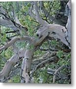 Texas Madrone Tree Limbs Metal Print