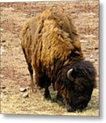 The American Buffalo Metal Print