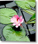 The Beauty Of Water Lily Metal Print