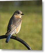 The Bluebird Of Happiness Metal Print