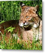 The Bobcat's Afternoon Nap Metal Print