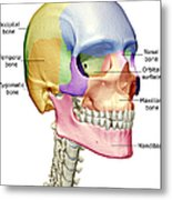 The Bones Of The Head, Neck And Face Metal Print