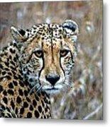 The Cheetah Stare Metal Print