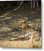 The Cheetah Wakes Up Metal Print