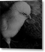The Chick Metal Print by Heather  Boyd