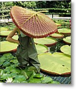The Cut Pad Of A Victoria Amazonica Metal Print