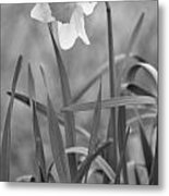 The Daffodil In Black-and-white Metal Print